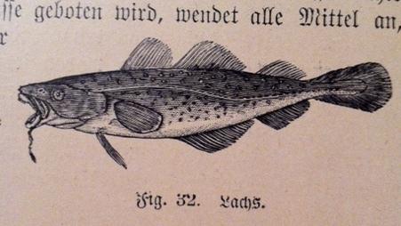 (aus: Dr. E. Bade: Handbuch für Naturaliensammler. Das Bild zeigt einen Dorsch oder dorschartigen Fisch und keinen Lachs)