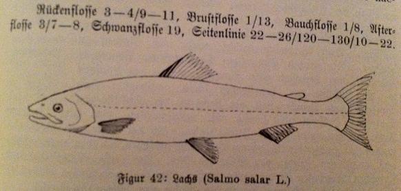 (aus: Dr. E. Bade: Die mitteleuropäischen Süßwasserfische. Weniger detailliert als die vorige Zeichnung, aber ein echter Lachs)